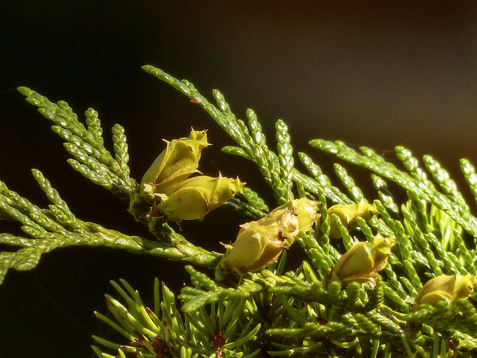 beneficios-del-aroma-de-cedro