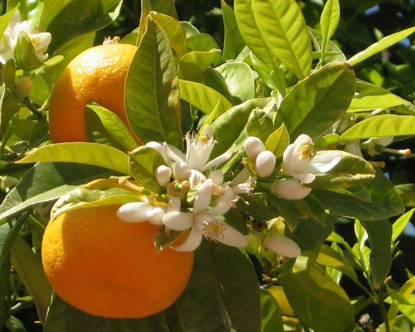 el-aroma-de-azahar-es-util-para-aumentar-las-ventas